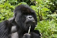 Mountain gorilla eating