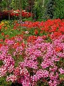 Geranium Pelargonium hybr