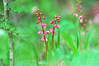 Pink Wintergreen, Honshu, Nagano Prefecture, Japan