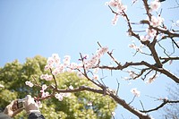 Man photographing plum flowers on branch