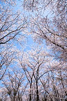 Cherry Trees and Blue Sky. Yokohama, Kanagawa Prefecture, Japan