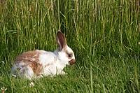 Domestic rabbit  Oryctolagus cuniculus  Order: Lagomorpha  Family: Leporidae.