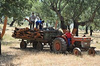 Men carrying 'corchas' cork sheets with a trailer tractor. Cork oak's trees with peeled trunks: Cork extraction. Los Leones Estate. Puebla de Obando, ...