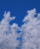 Frost Covered Trees and Blue Sky. Biei, Hokkaido, Japan