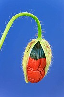 Corn poppy bud