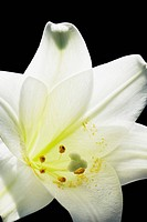 Easter lily (thumbnail)
