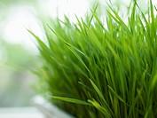 Fresh lemon grass