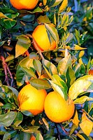 Oranges on a tree, Florida, USA