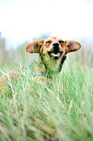 Chiweenie dog in a field