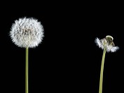 Contrast of dandelion with seeds and dandelion without