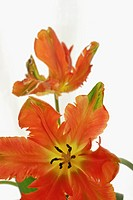 Close up of parrot tulips in front of white background