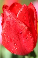 Raindrops on tulip Tulipa hybr