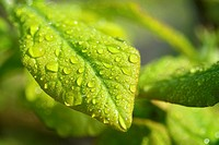 Raindrops on Mespilus germanicus leaf