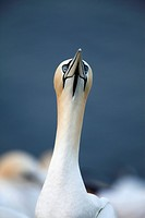 Northern Gannet Morus bassanus, Helgoland, Germany, portrait