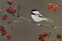 Black_capped Chickadee Poecile atricapillus perched on a branch.
