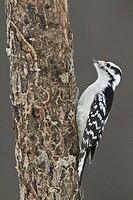 Female Downy Woodpecker Picoides pubescens perched on a tree trunk.