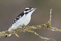 Male Hairy Woodpecker Picoides villosus perched on a branch.