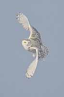 Snowy Owl Bubo scandiacus hunting for prey in winter.