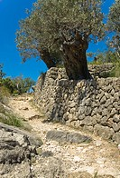 Olive tree on Majorca