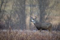 Male Mule Deer Odocoileus hemionus Southwest Alberta, Canada.