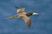 Brown Booby Sula leucogaster leucogaster flying near the coast of Trinidad and Tobago.