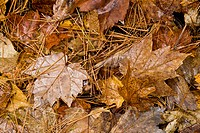 Variety of autumn leaves on ground in Muskoka, Ontario, Canada.