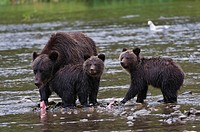 Grizzly bear Ursus arctos horriblis, female and cubs of the year eating salmon Oncorhynchus sp., coastal British Columbia.