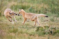 Swift fox Vulpes velox, kits playing, near Pawnee National Grassland, Colorado.