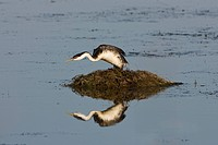 Western grebe Aechmophorus occidentalis, on nest, Bear River Migratory Bird Refuge, Utah.