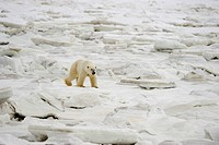 Polar bear Ursus maritimus walking on newly forming Hudson Bay ice. Seal River Heritage Lodge, Churchill, Manitoba, Canada.