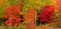 Red maples and aspens. Greater Sudbury, Ontario, Canada
