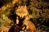 Gray wolf Canis lupus adult and pup at den. Captive animal