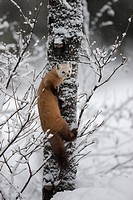 American Marten Martes americana on a snow covered tree in Algonquin Provincial Park, Ontario, Canada