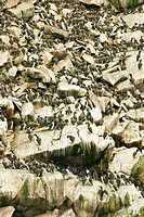 Thin_billed Murre or Common Murre Uria aalge on the cliffs in Witless Bay Ecological Reserve, Newfoundland and Labrador, Canada.