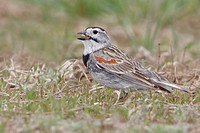McCown´s Longspur Calcarius mccownii perched on the short grass prairie of Saskatchewan, Canada.