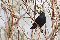 Rusty Blackbird Euphagus carolinus perched on a branch in Churchill, Manitoba, Canada.