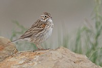 Vesper Sparrow Pooecetes gramineus perched on a rock in Alberta, Canada.