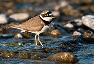 Little ringed plover foraging, Charadrius dubius, Europe