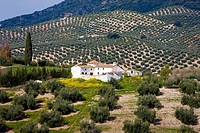 Finca in between olive trees, Andalucia, Spain, Europe