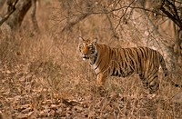 Tiger (Panthera tigris), Ranthambore National Park, Rajasthan, India