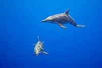 rough-toothed dolphins, Steno bredanensis, playing with monofilament fishing line which is hanging from FAD - Fish Aggregation Device, Kona Coast, Big...