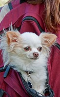 This cute long haired white Chihuahua dog is riding in the back of a girl's burgundy colored backback Very cute pet stock image