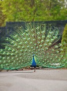 This one proud peacock bird is standing alone with his stunning plumage of feathers displayed Background intentionally blurred to emphasize subject