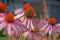 This image is Echinacea Pallida, commonly known as pink coneflower a beautiful summer perennial garden plant and herb Background intentionally blurred...