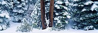 Snowy forest in the Sierra Nevada, California