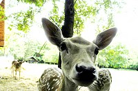 fallow deer in the Lobau