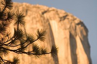 Tree silhouetted against El Capitan in late light.
