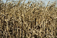Dry and brittle cornstalks late in the season.