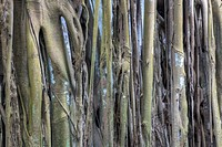 Banyan tree canopy with roots running from the branches to the ground.