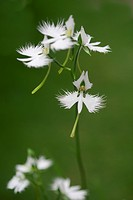 Fringed orchids, close up, differential focus